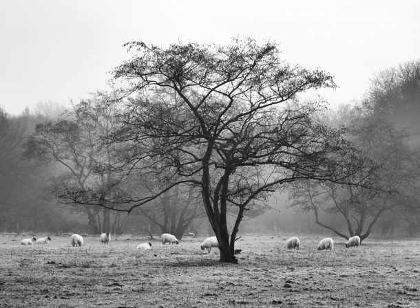 Ten Sheep and a Tree